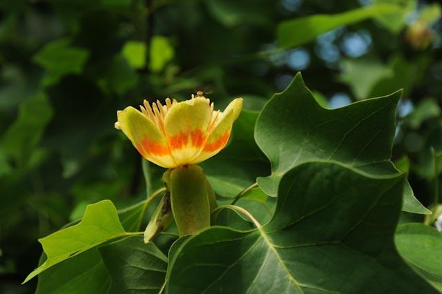 Fleur en forme de coupe du tulipier de Virginie (Liriodendron tulipifera)