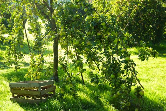 Dans le verger de Marie Ange, les variétés locales bien adaptées au climat, croulent sou les fruits.