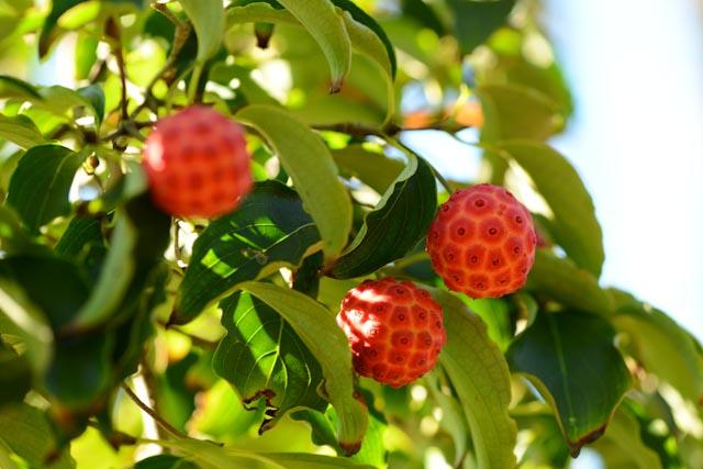 Fruits de Cornus kousa