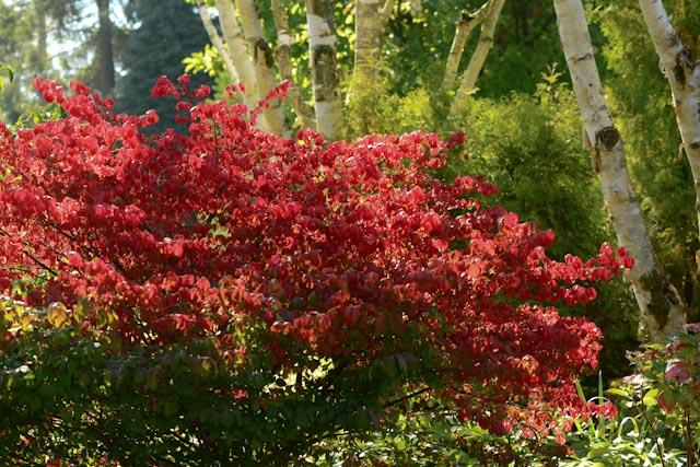 le fusain ailé (Euonymus alatus) devient écarlate à l'automne.