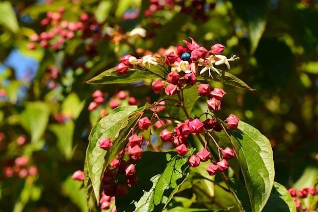 Fleurs et fruits de clérodendron
