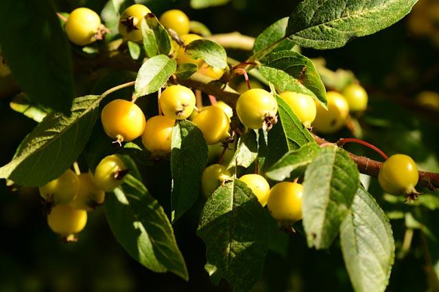Petites pommes d'ornement