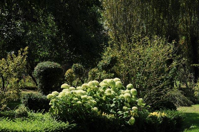 Au centre de l'image la silhouette informelle d'un hydrangéa 'Annabelle' qui contraste avec les arbustes taillés en topiaire à proximité.