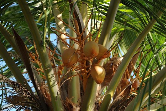 Cocotier (Cocos nucifera) dans la serre Mabundu, réservée aux plantes tropicales utiles.