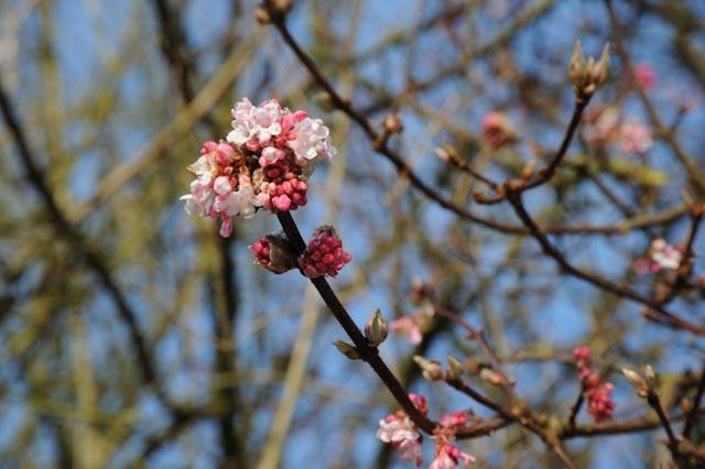 Fleurs sphériques roses de la viorne de Bodnant (Viburnum bodnantense)