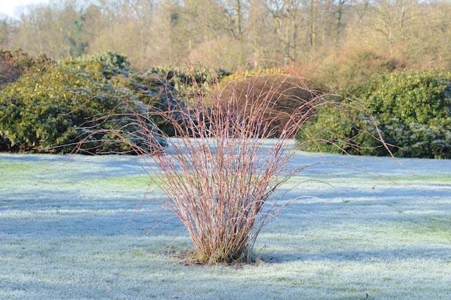 La ronce d'ornement aux rameaux poudrés trône au milieu de la pelouse du jardin botanique de Meise (Belgique)