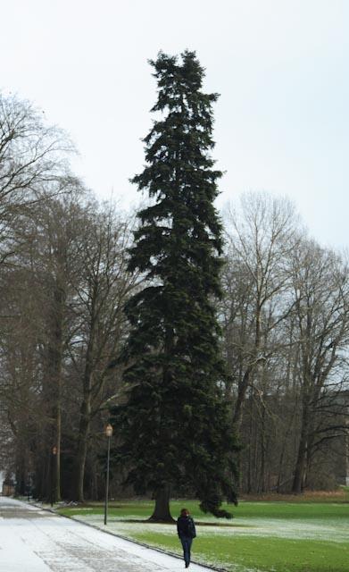 La haute silhouette fuselée du sapin du Caucase (Abies nordmanniana) accueille les promeneurs dans le jardin botanique de Meise (Belgique).