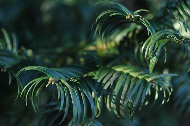 Aiguilles courbes du céphalotaxus de Chine (Cephalotaxus fortunei)