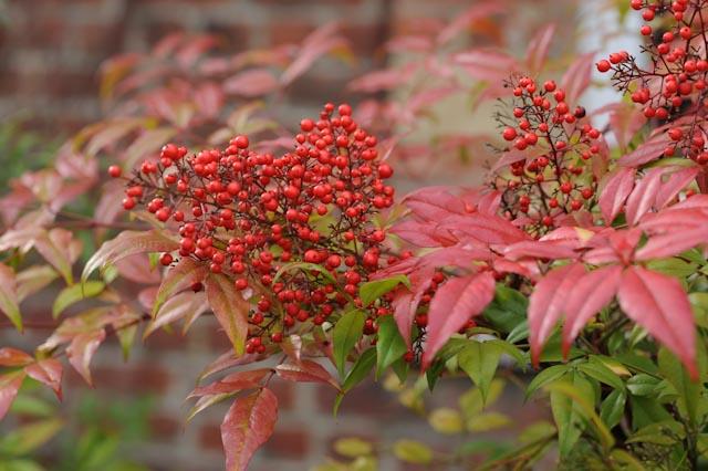 Fruits de nandinas ou bambous sacrés, aux feuilles rougies par le froid.