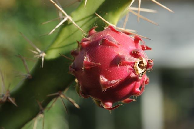 cactus pomme (Harrisia pomanensis) dans la serre Mabundu, réservée aux plantes tropicales utiles.