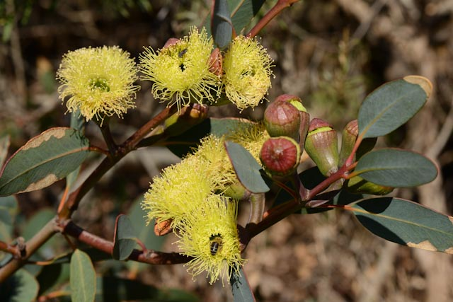 Fleurs jaune soufre d'Eucalyptus preissiana