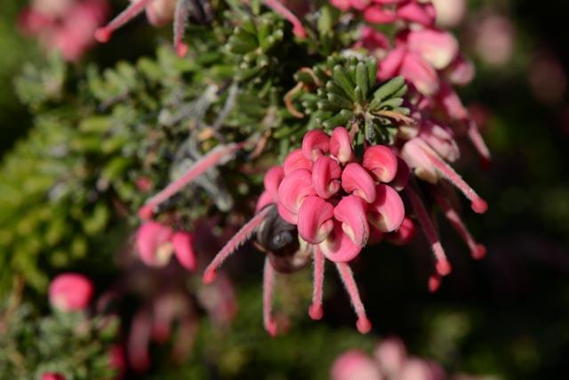 Fleur de grévilléa laineux rampant (Grevillea lanigera 'Mount Tamboritha''
