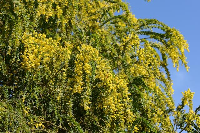Fleurs en cascade du mimosa retombant (Acacia spectabilis)