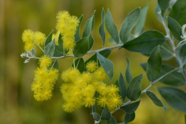 Fleurs d'Acacia podalyriifolia