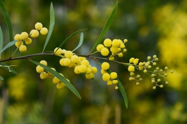 Le mimosa 'Impérial' (Acacia retinoides 'Impérial')