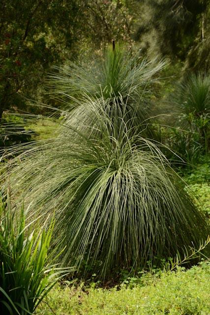 Au domaine du Rayol, jardin des Méditerranées, incroyable Black Boy (Xanthorea pressii) échevelé