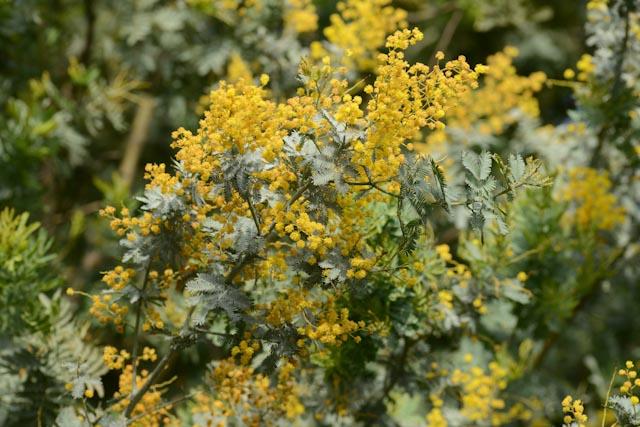 Au domaine du Rayol, jardin des Méditerranées, les mimosas ont la vedette en hiver. Ici, le mimosa pourpre (Acacia baileyana 'Purpurea')