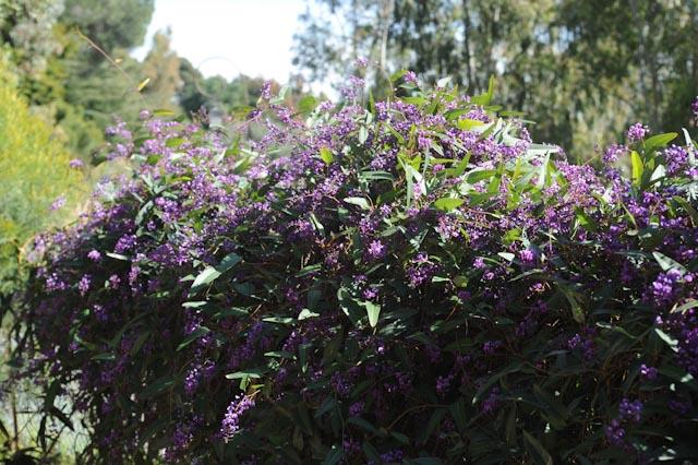 grillage recouverte d'une vigoureuse glycine australienne (Hardenbergia violacea)