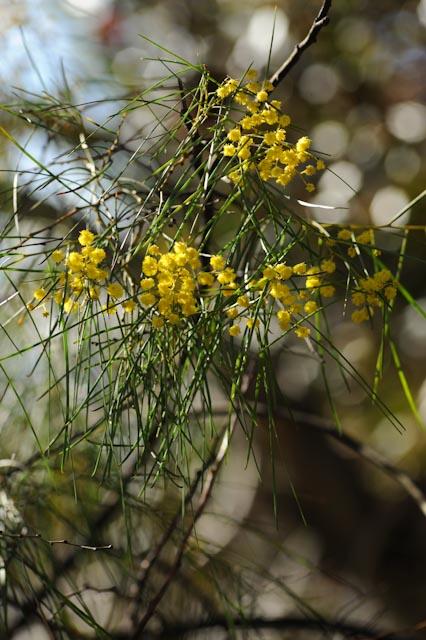 Fleurs et feuilles fines du mimosa à aiguilles de pin