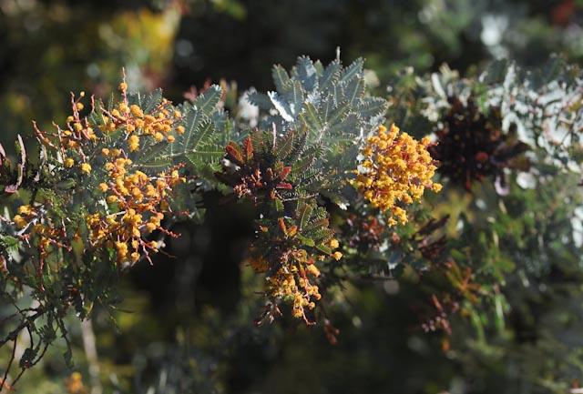 Fleurs et jeunes pousses carmin du mimosa pourpre (Acacia baileyana 'Purpurea')