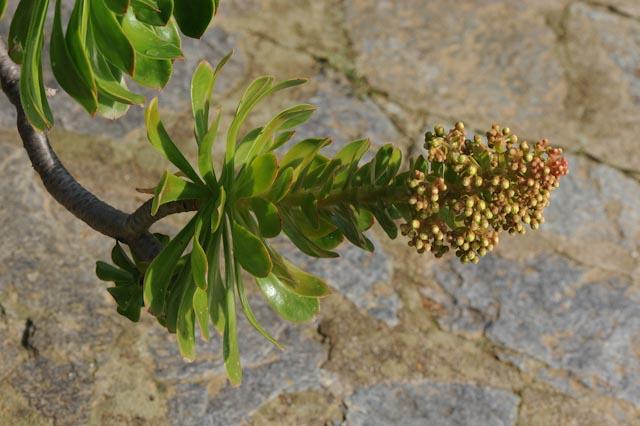 Au domaine du Rayol, jardin des Méditerranées, un aeonium en fleurs dans le jardin des Canaries