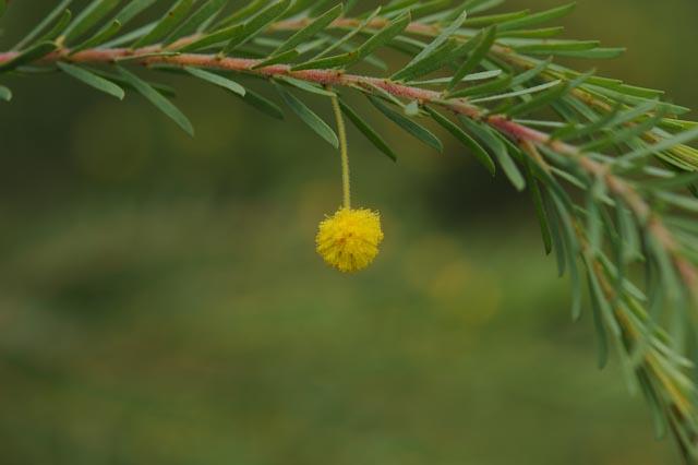 Fleurs d'Acacia tetragonophylla