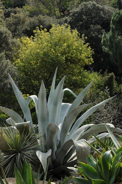 Au domaine du Rayol, jardin des Méditerranées, l'agave mexicain (Agave americana et sa silhouette sculpturale