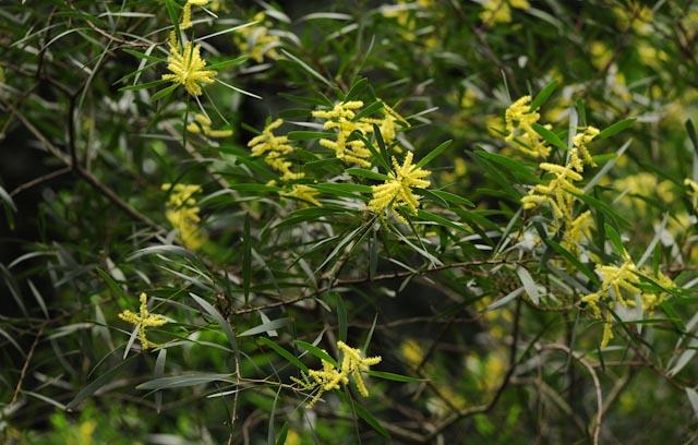 Le mimosa chenille (Acacia longifolia)