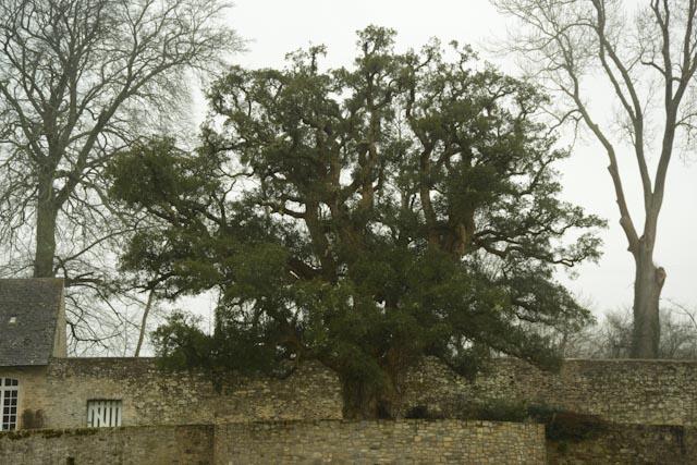 Le chêne liège de Gonneville est planté sur un promontoire entouré d'un muret de pierres.