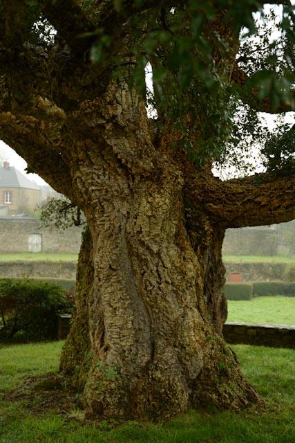 La circonférence du chêne liège de Gonneville, de 6,50 m, est impressionnante.