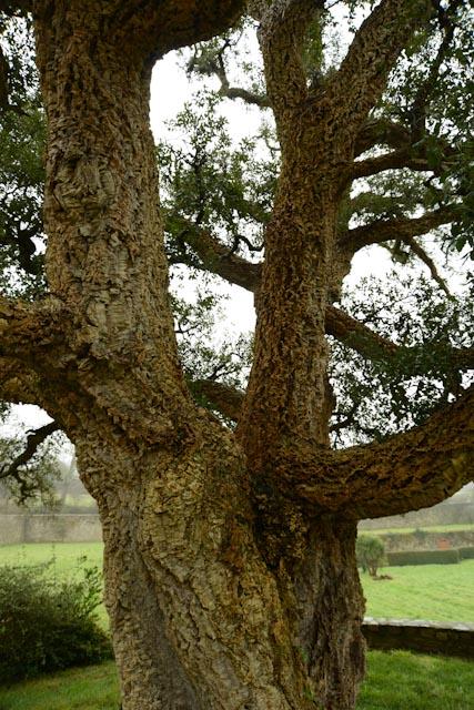 Les grosses branches du chêne liège tricentenaire s'étalent sur 14 m de large.
