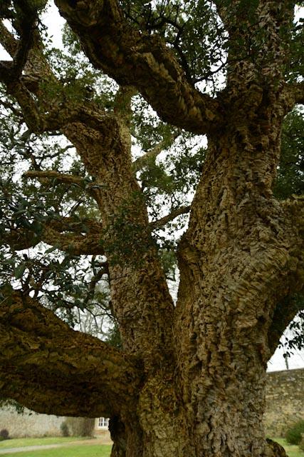 L'écorce du chêne liège est épaisse et crevassée : c'est le liège naturel.