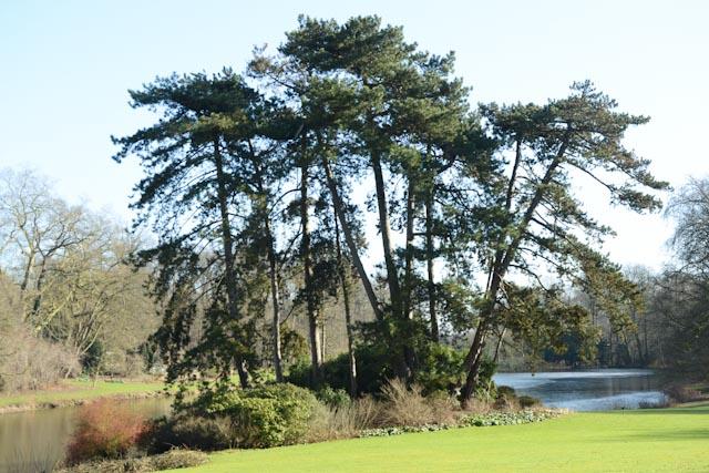 Ce groupe de métaséquoias (Metasequoia glyptostroboides) a été semé en 1948 au bord de l'étang de l'Orangerie.