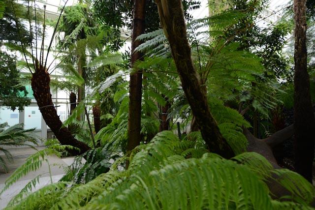 Fougères arborescentes de la serre de l'évolution - jardin botanique de Meise (Belgique)