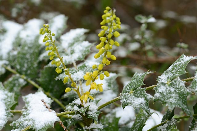Epis jaunes de mahonia 'Winter Sun' (Mahonia x media 'Winter Sun')