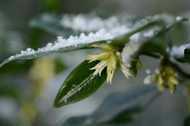 Fleurs aux pétales effilochés de sarcococca (Sarcococca humilis)