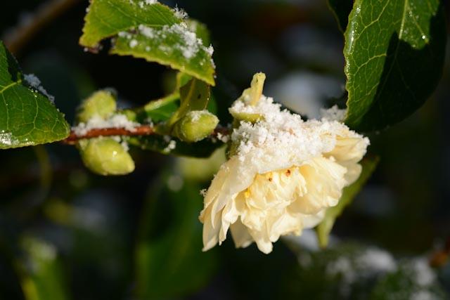 Fleur ivoire de camélia d'automne (Camellia sasanqua)