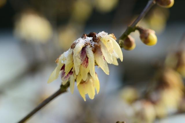 Fleurs étranges, jaune pâle, de chimonanthe (Chimonanthus praecox)