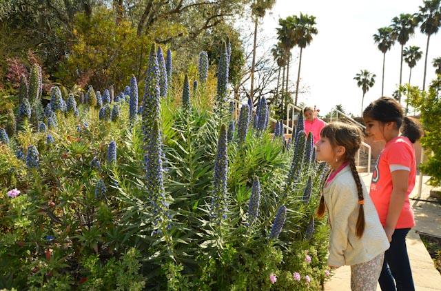 Une fillette sent des fleurs d'échium, malheureusement inodores.