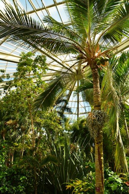 Sous la serre les grands palmiers royaux touchent presque le vitrage.
