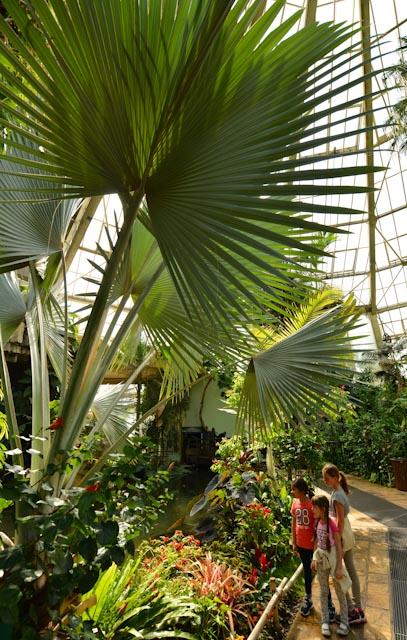 Un grand palmier de Bismarck aux palmes en éventail surplombe un groupe d'enfants