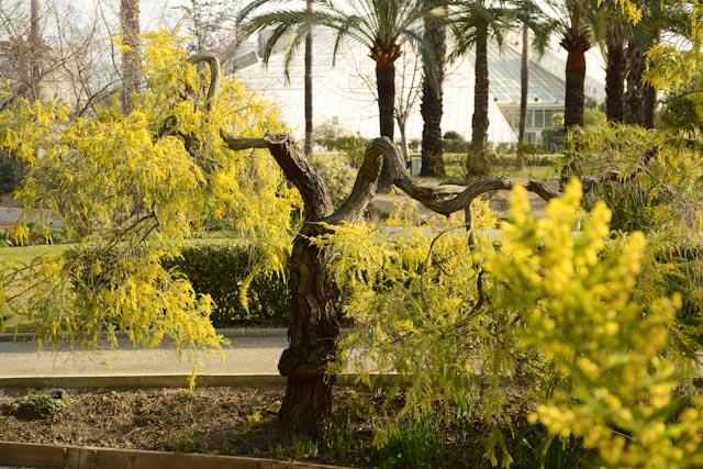 La photo présente un mimosa dont le tronc se divise en deux grosses branches horizontales portant des grappes de fleurs pendantes.