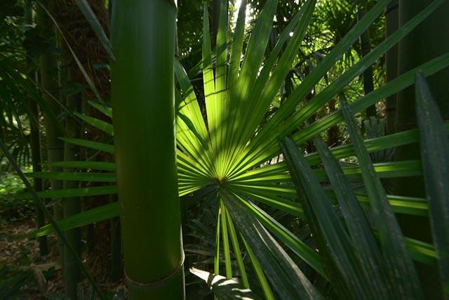 Palme de palmier de Chine (Trachelospermum fortunei) soulignée par un éclat de soileil