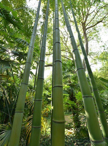 Impressionnantes cannes de bambous géants de la Bambouseraie en Cévennes.