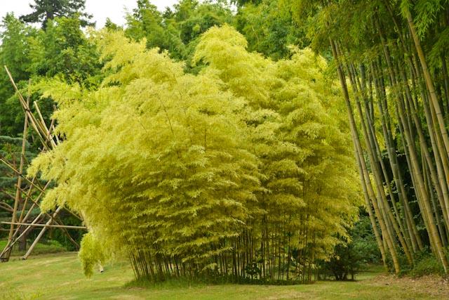 Bambou au feuillage doré très lumineux.