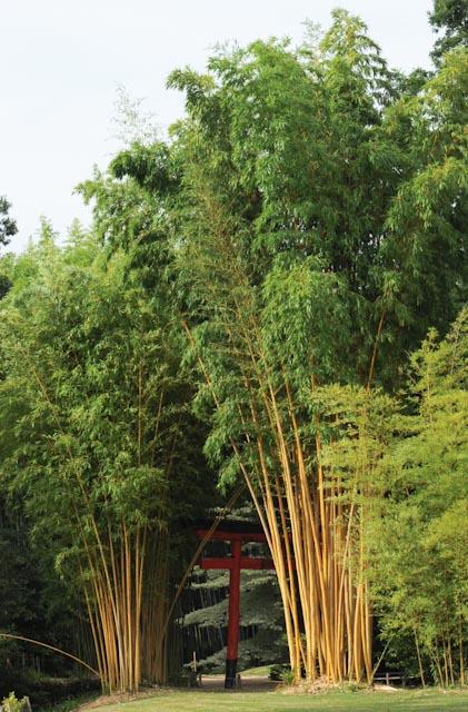 Bambou à cannes dorées de la collection de la Bambouseraie en Cévennes