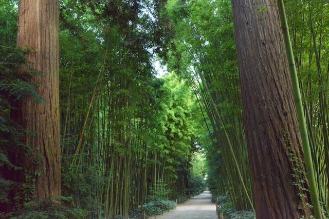 La forêt de bambous qui vontribue à donner un aspect exotique à la Bambouseraie en Cévennes