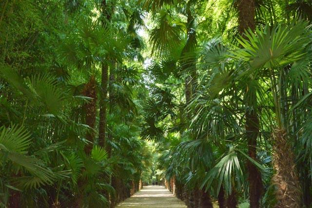 Allée bordée par des bambous géants et des palmiers de Chine (Trachelospermum fortunei)