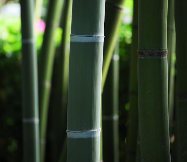 Phyllostachys bambusoides - collection de la Bambouseraie en Cévennes
