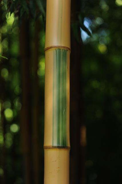 bambou à cannes dorées striées de vert (Phyllostachys bambusoides 'Castillonis')